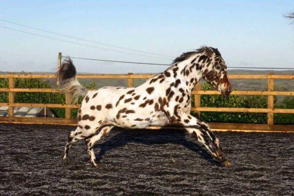 horse in manege